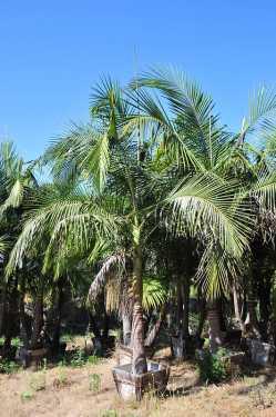 The Palm Nursery